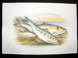 Houghton 1879 Folio Antique Fish Print Allis Shad, Twaite Shad